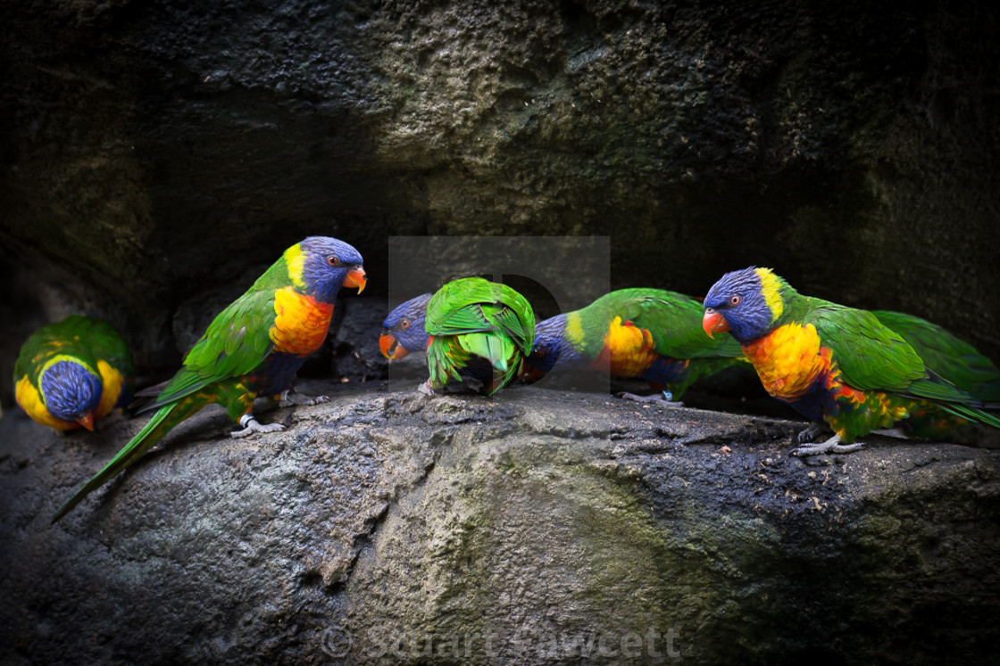 """Lorikeets"" stock image"