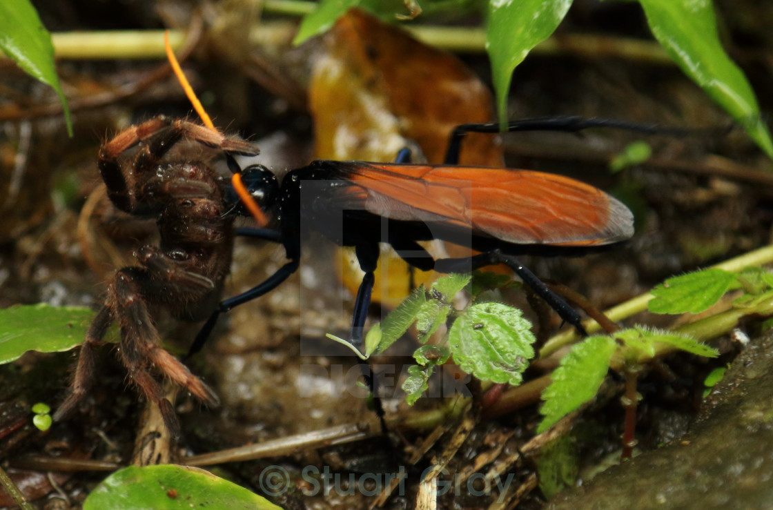 tarantula hawk wasp with kill in mouth costa rica license for