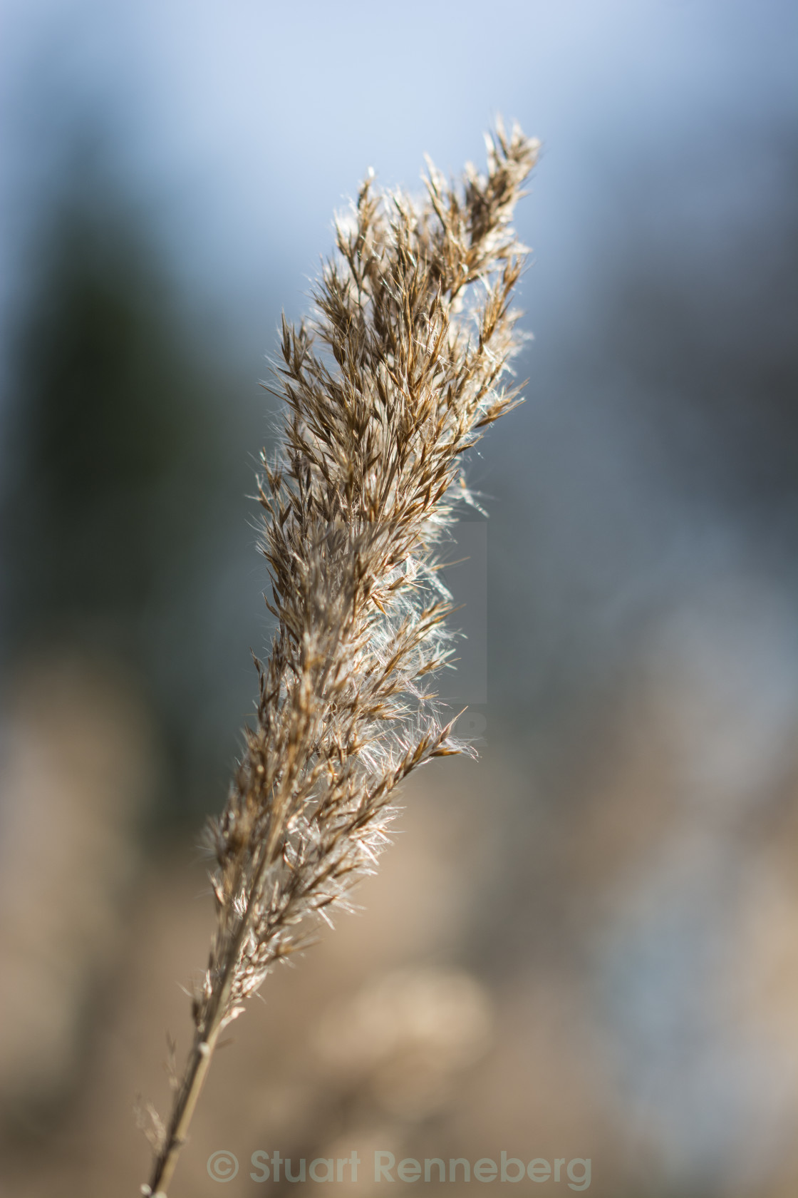 """""""Close up macro of a Reed on a sunny day"""" stock image"""