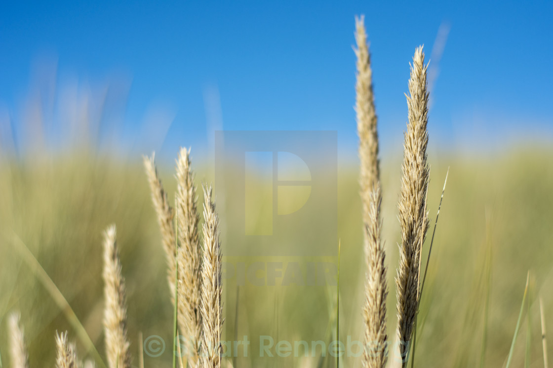 """""""Long reeds growing on sand dunes in the UK"""" stock image"""