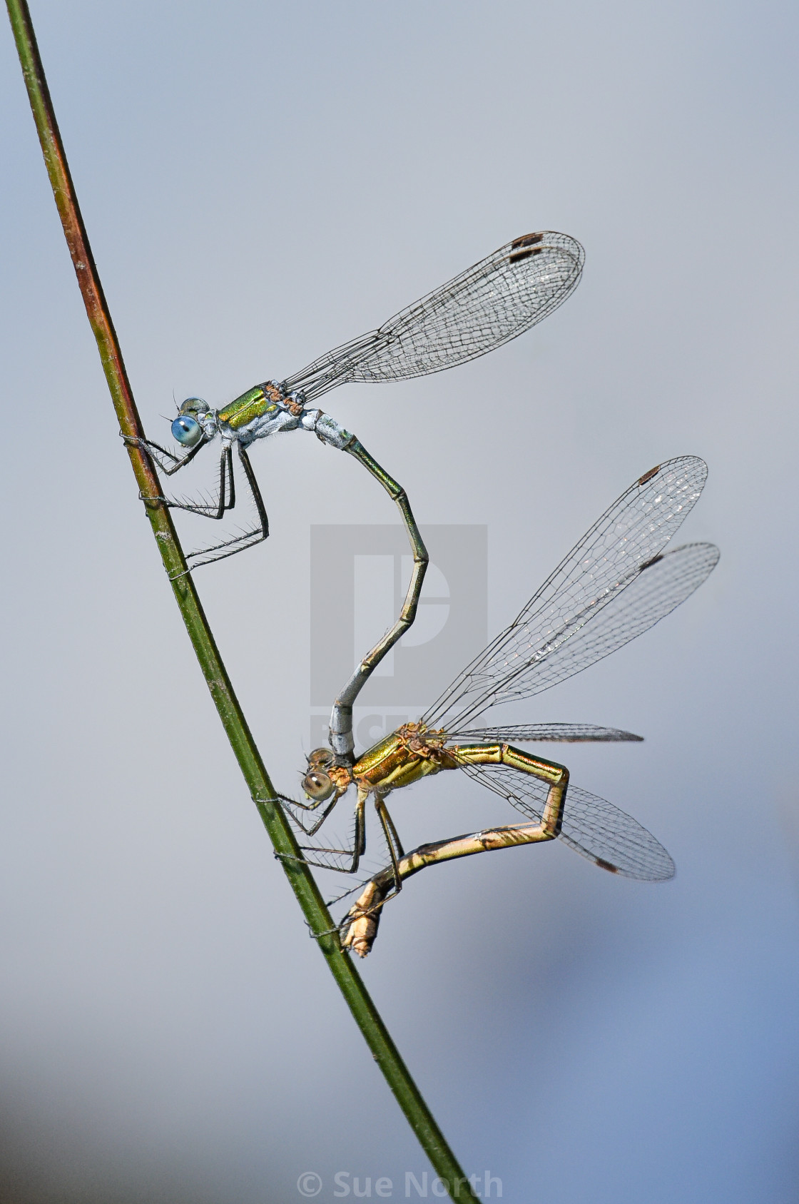 """Emerald Damselfly"" stock image"