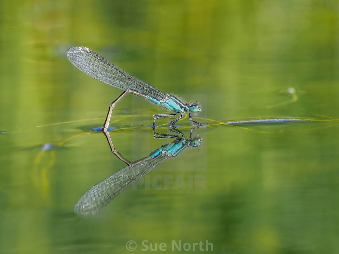"""female damselfly"" stock image"