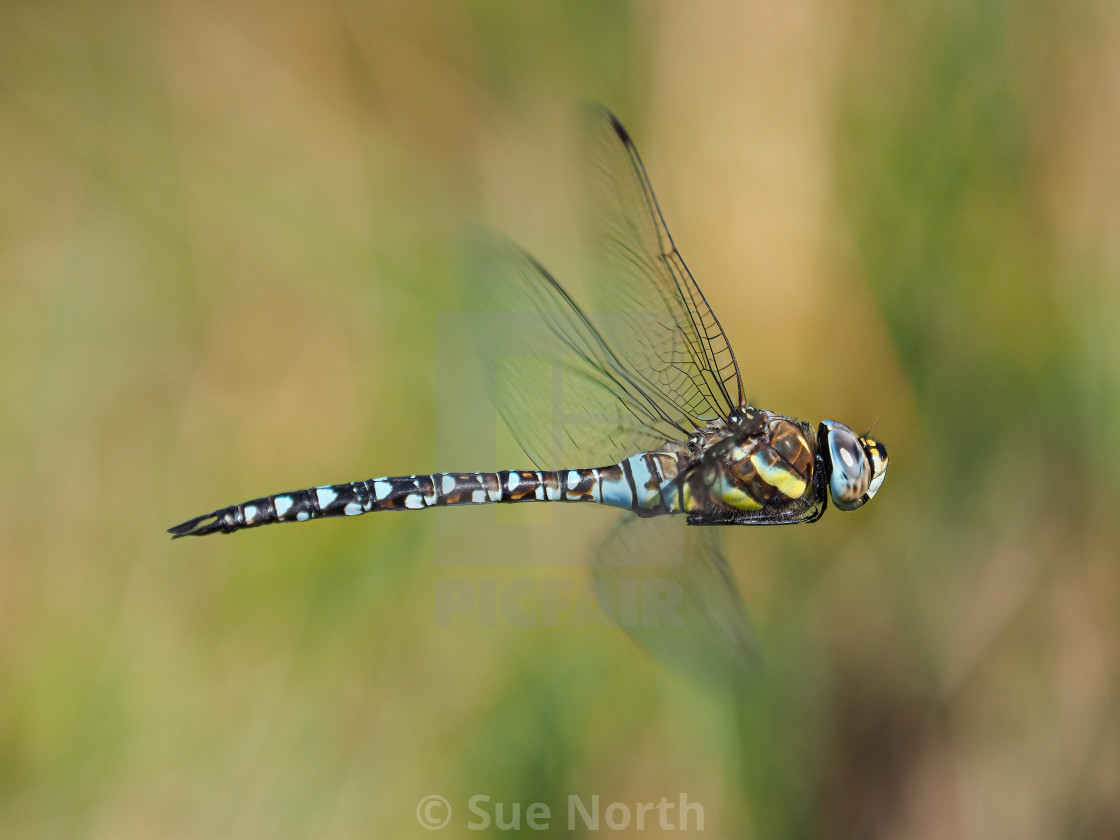 """Common Hawker"" stock image"