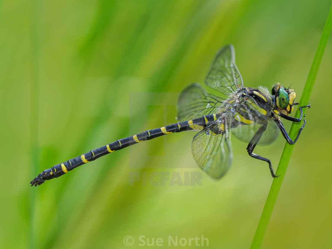 """Golden-Ringed Dragonfly no 1"" stock image"