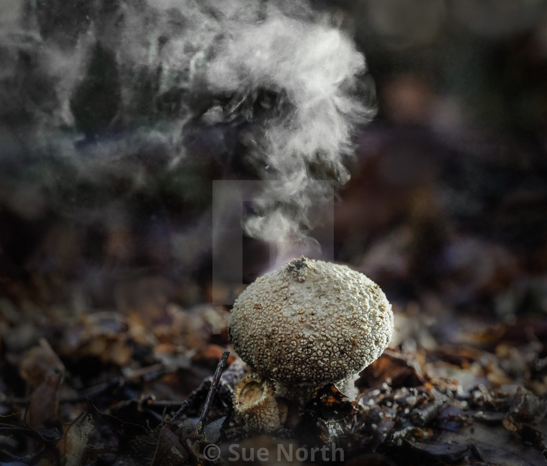 """Common puffball Scleroderma citrinum no 3"" stock image"