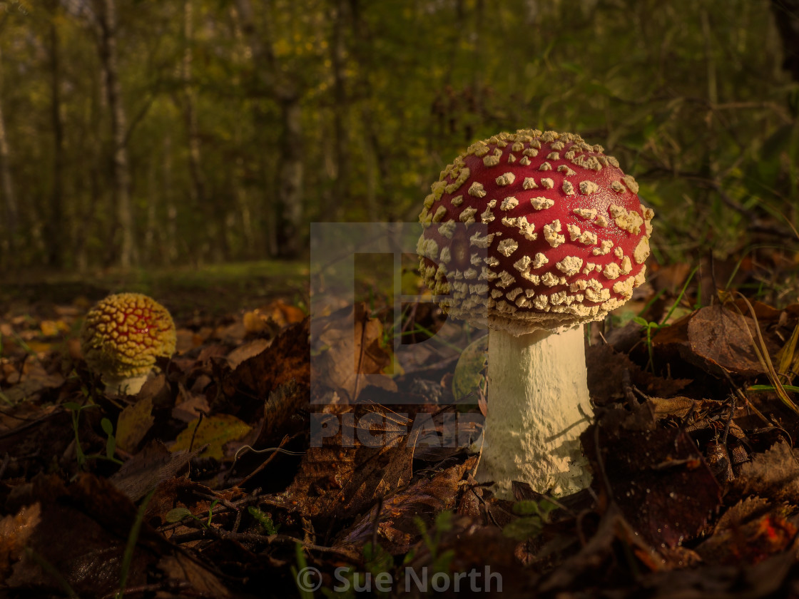 """Fly agaric, Amanita muscaria"" stock image"