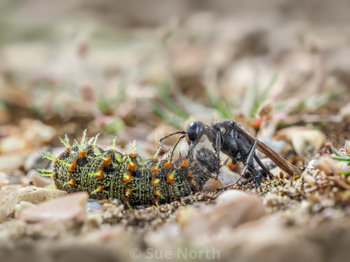 """Red banded sand wasp with paralyzed caterpillar no 4"" stock image"