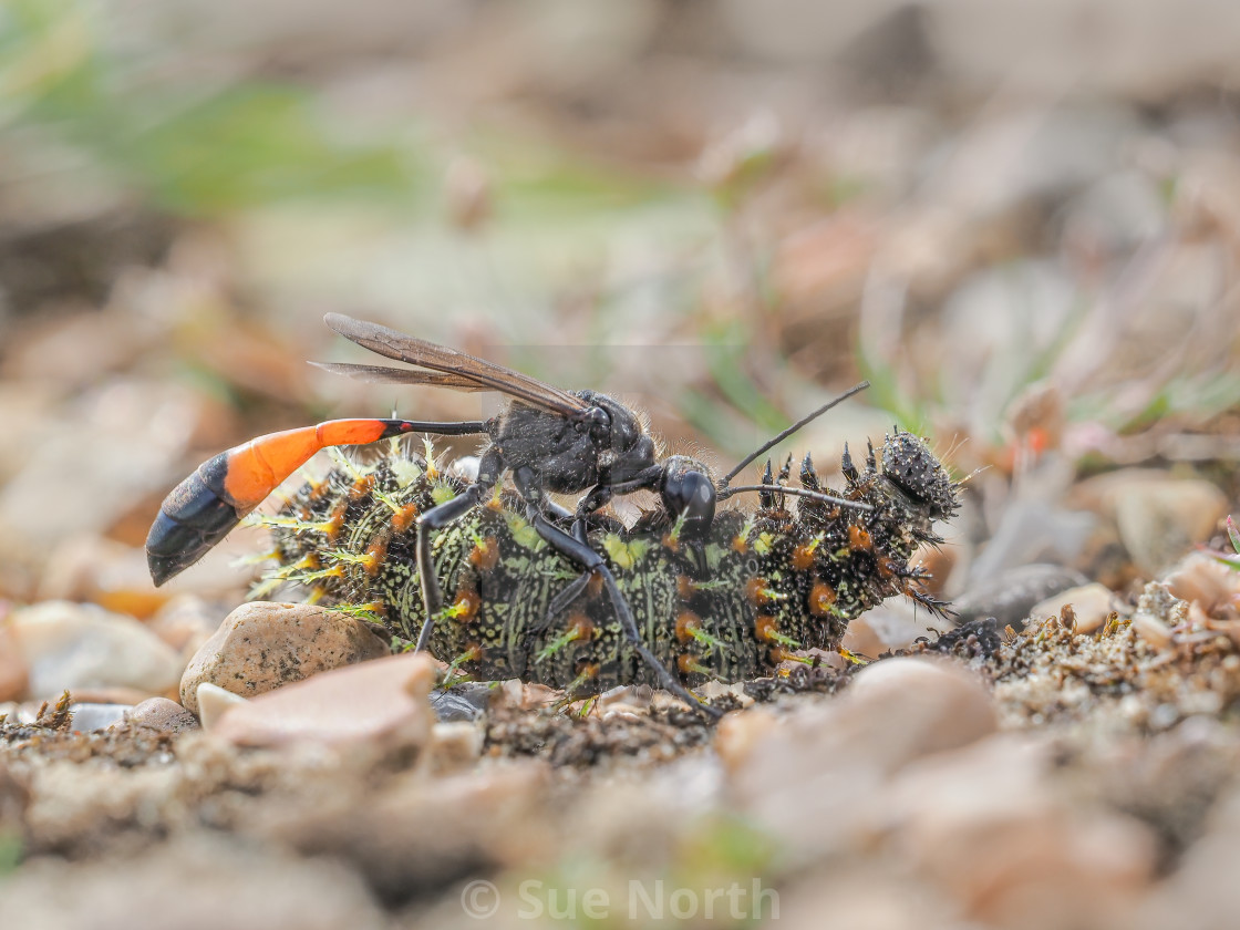 """Red banded sand wasp with paralyzed caterpillar no 3"" stock image"