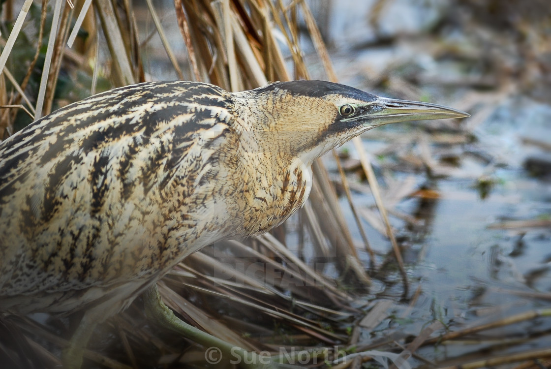 """Great bittern no 3"" stock image"