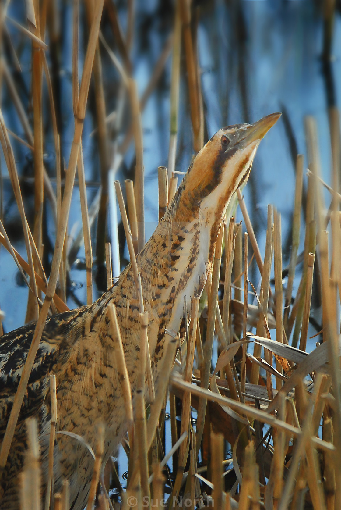"""Great bittern no 2"" stock image"