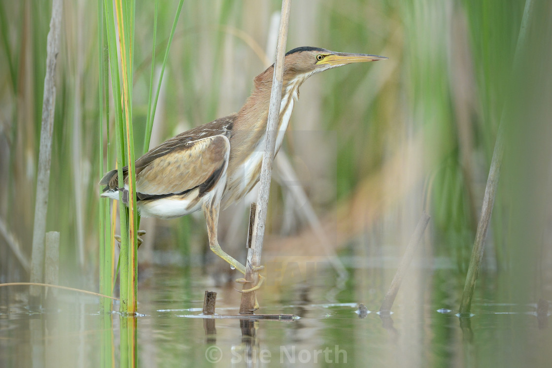 """Little bittern no 1"" stock image"
