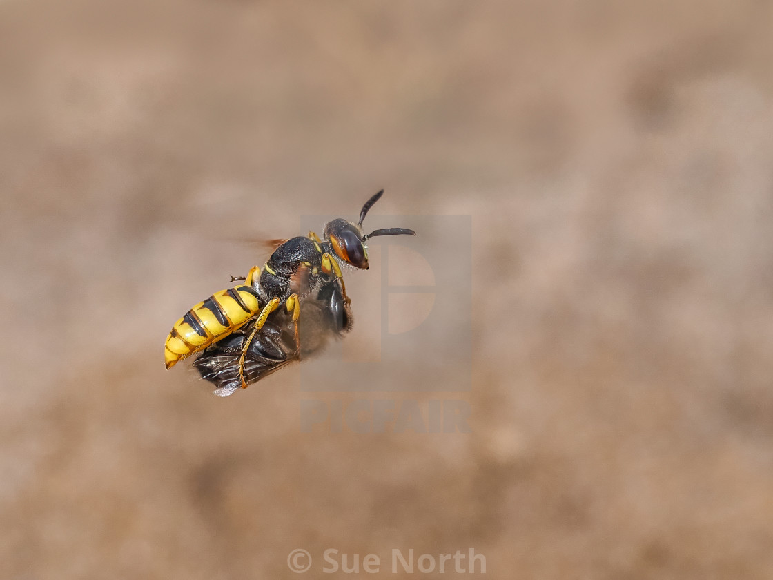 """Beewolf Philanthus flying in with a Honey Bee prey no 1"" stock image"