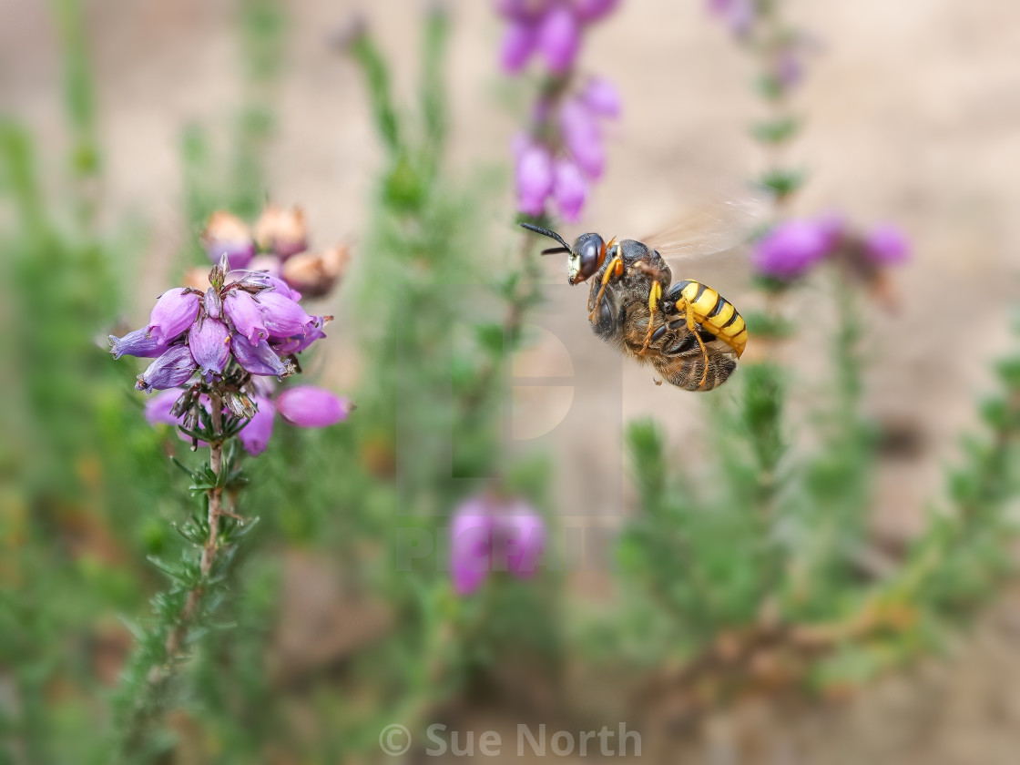 """Beewolf Philanthus flying in with a Honey Bee prey no 2"" stock image"