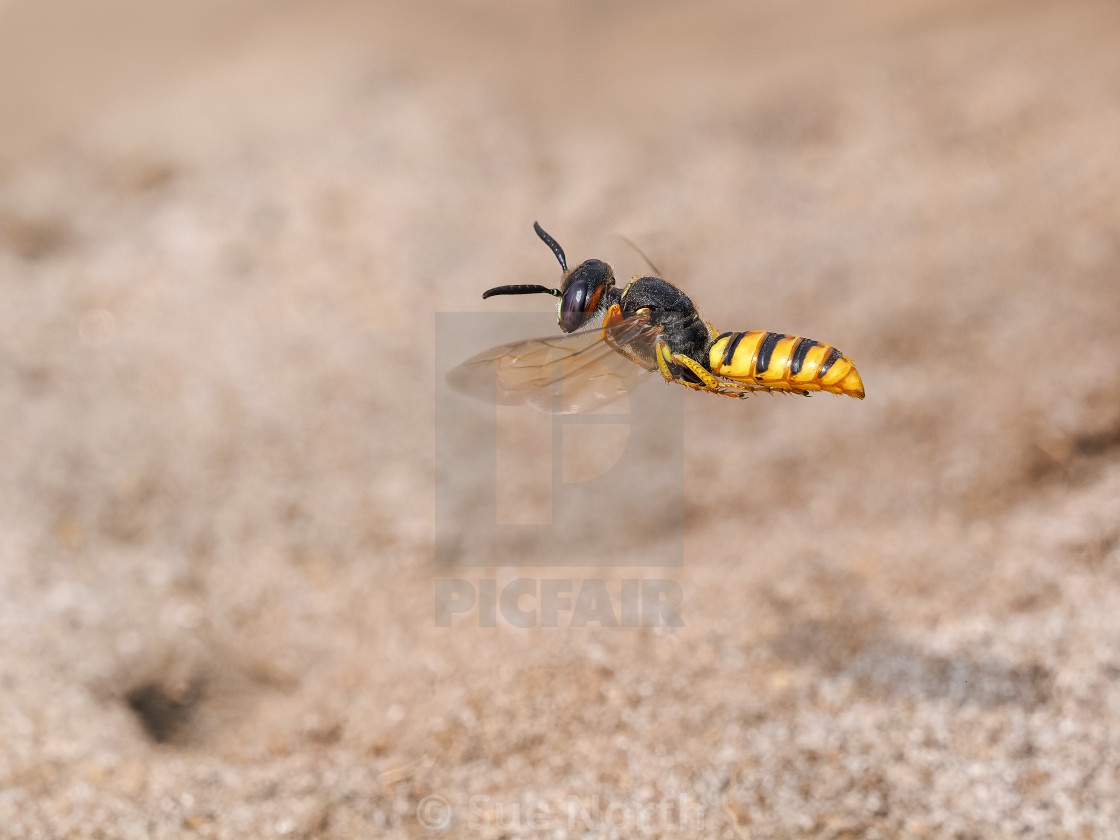 """Beewolf Wasp Philanthus with paralyzed honey bee about to flying to its burrow bottom left."" stock image"