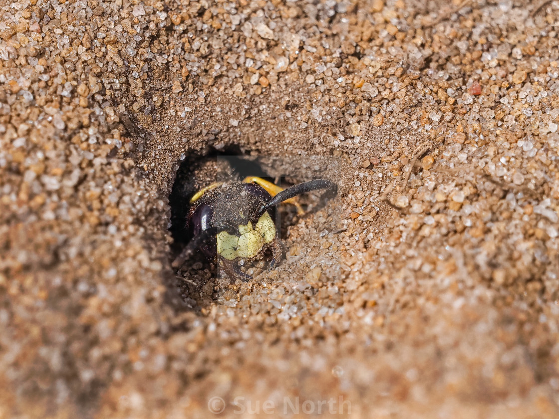 """Beewolf Philanthus at burrow entrance no 1"" stock image"