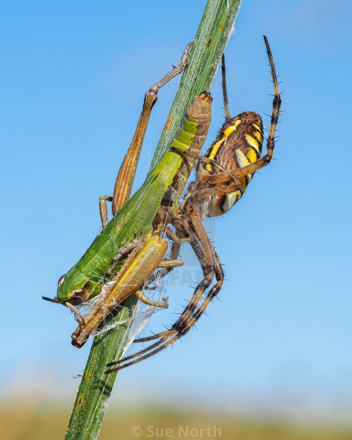 """Wasp spider with grasshopper prey no 2"" stock image"