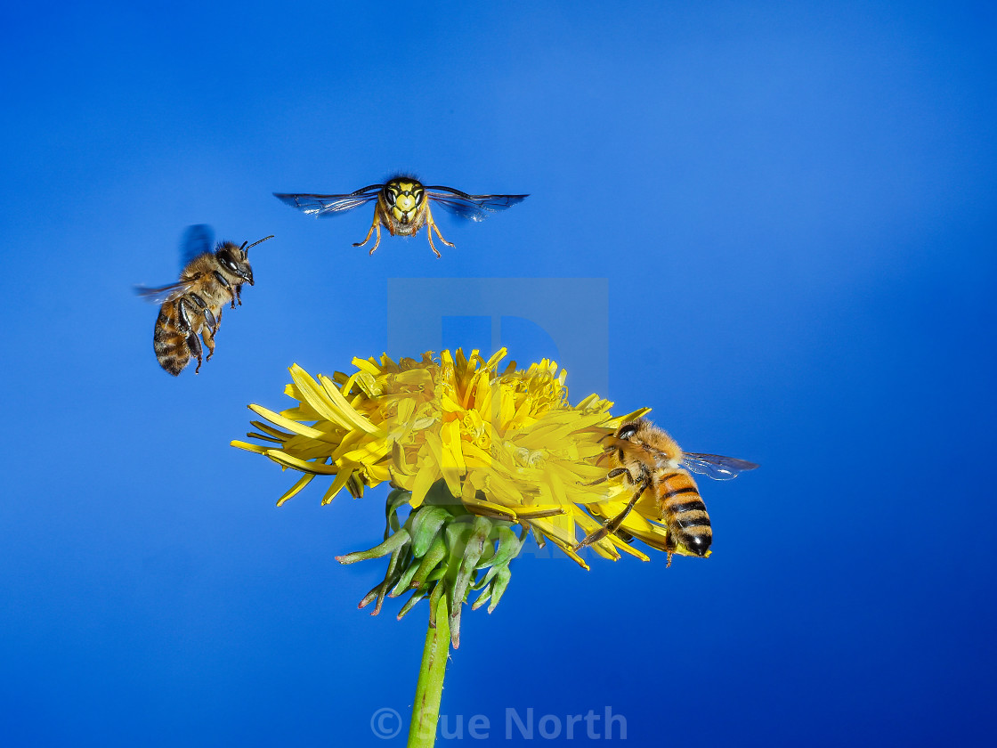 """Honey bee and wasp in flight."" stock image"