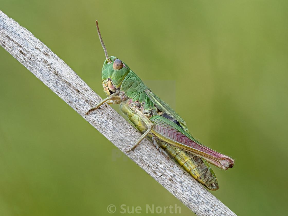 """""""Meadow Grasshopper Chorthippus parallelus no 2."""" stock image"""