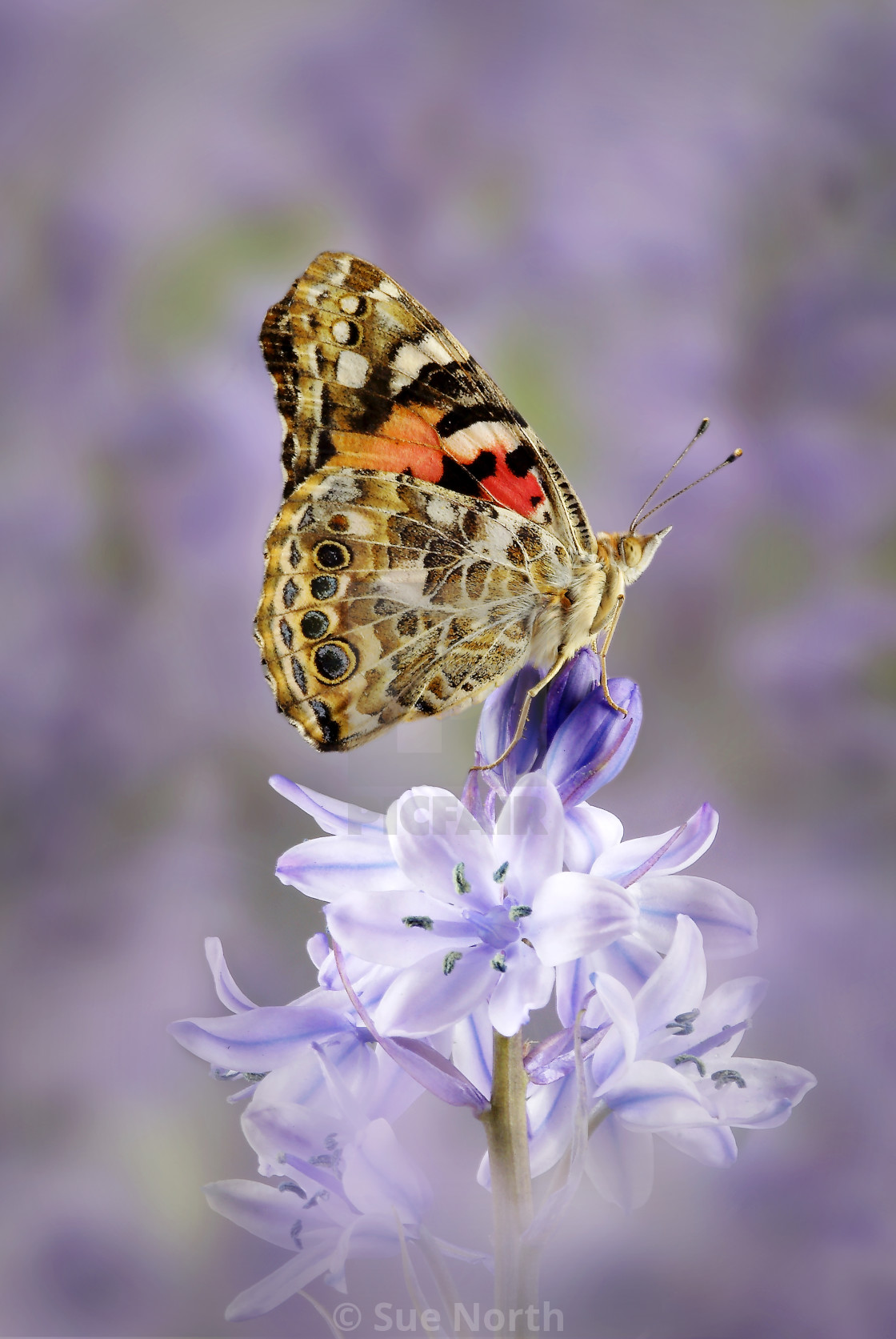 """Painted lady butterfly Vanessa cardui no 4"" stock image"