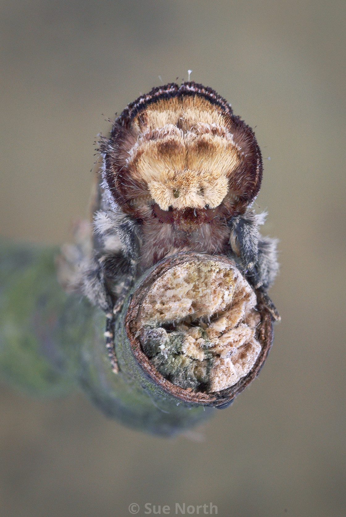 """Buff tip moth portrait no 1"" stock image"