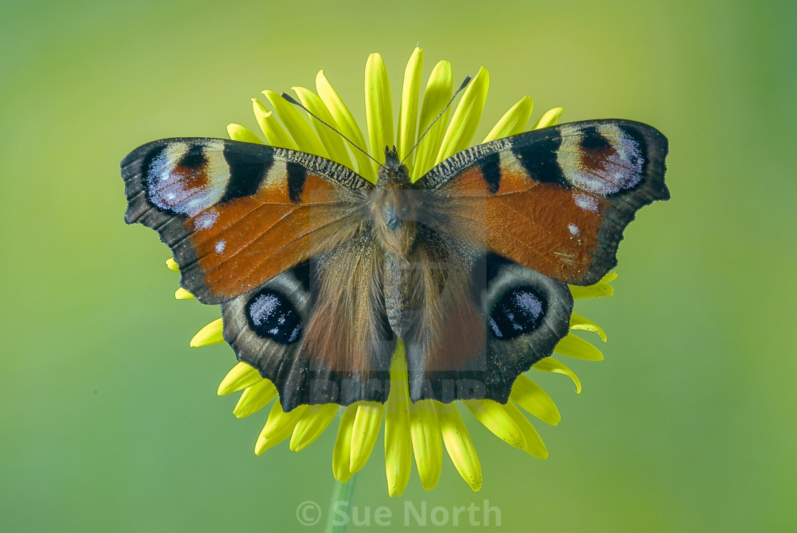 """Peacock butterfly Aglais io no 1"" stock image"