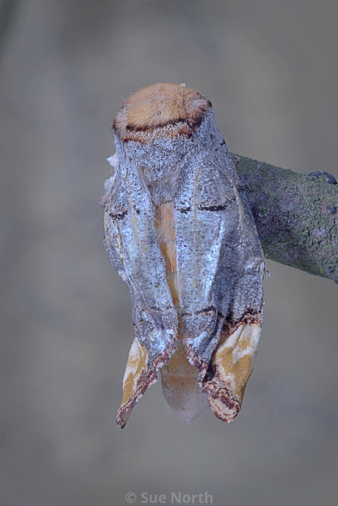 """Buff tip moth no 2"" stock image"