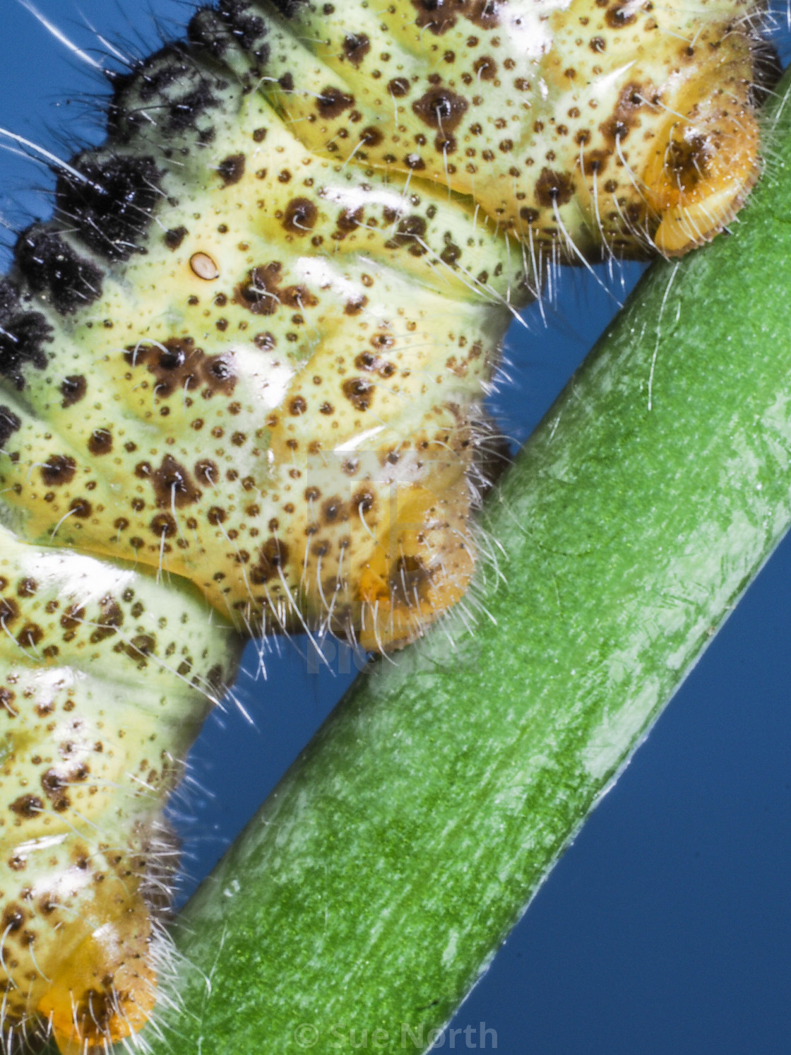 """Cabbage white butterfly caterpillar no 2"" stock image"