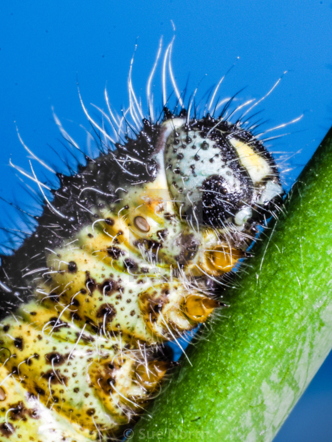 """Cabbage white butterfly caterpillar no 1"" stock image"