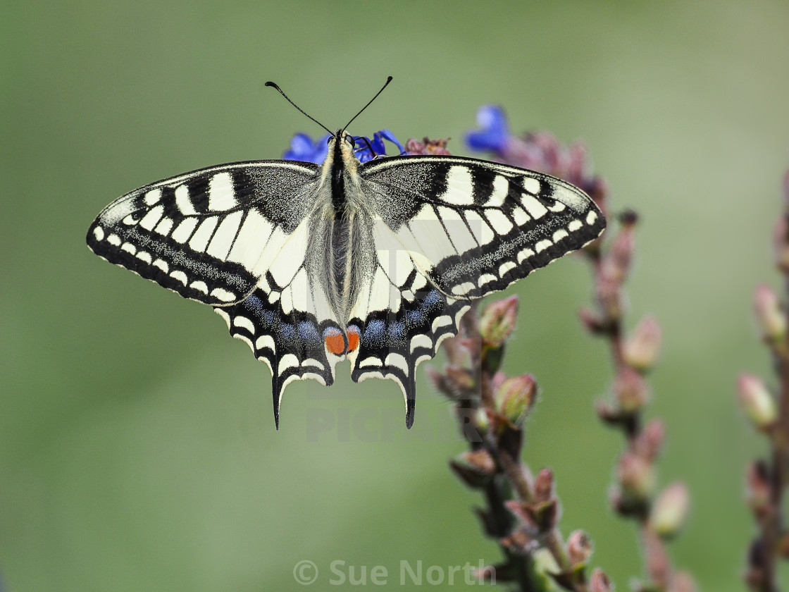 """Swallowtail butterfly Papilio machaon no 2"" stock image"