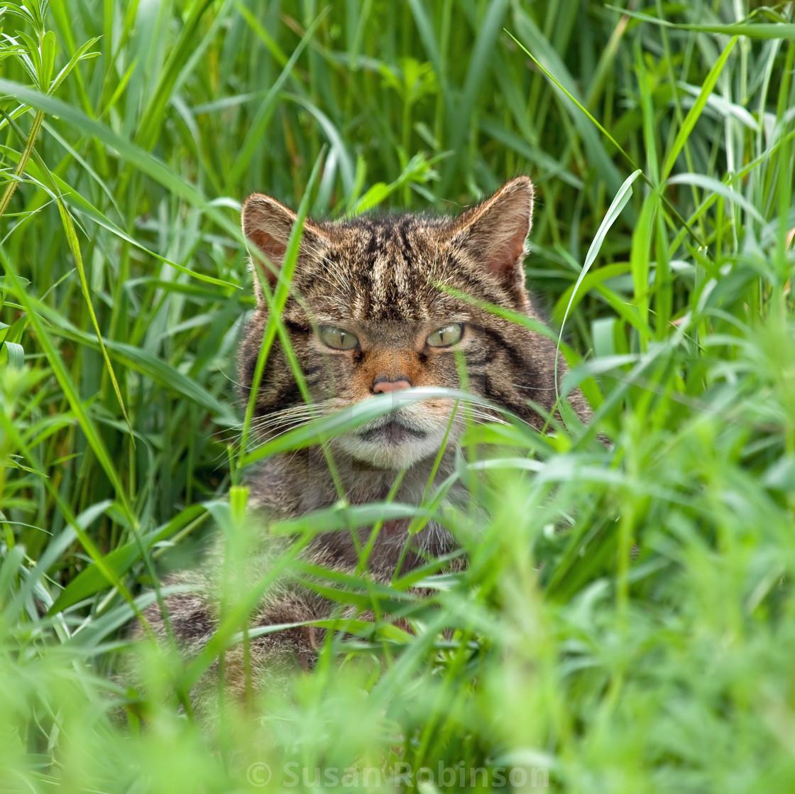 """Scottish Wildcat in long grass"" stock image"