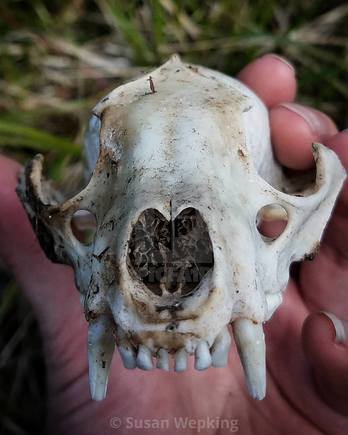 Raccoon skull - License, download or print for £1 24