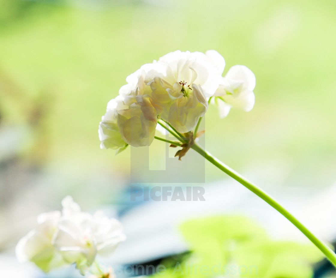 """White flower"" stock image"