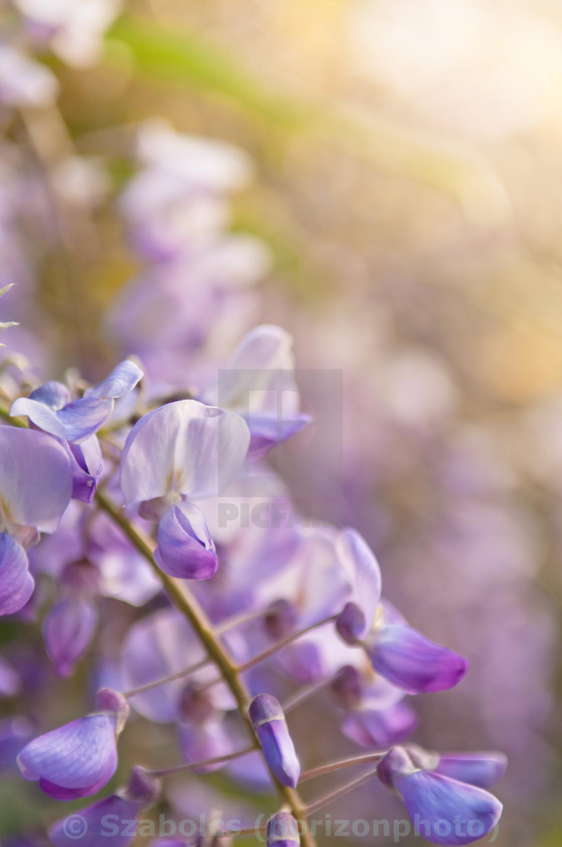 Robinia Pseudoacacia Tree Flowers Know As Black Locust Purple