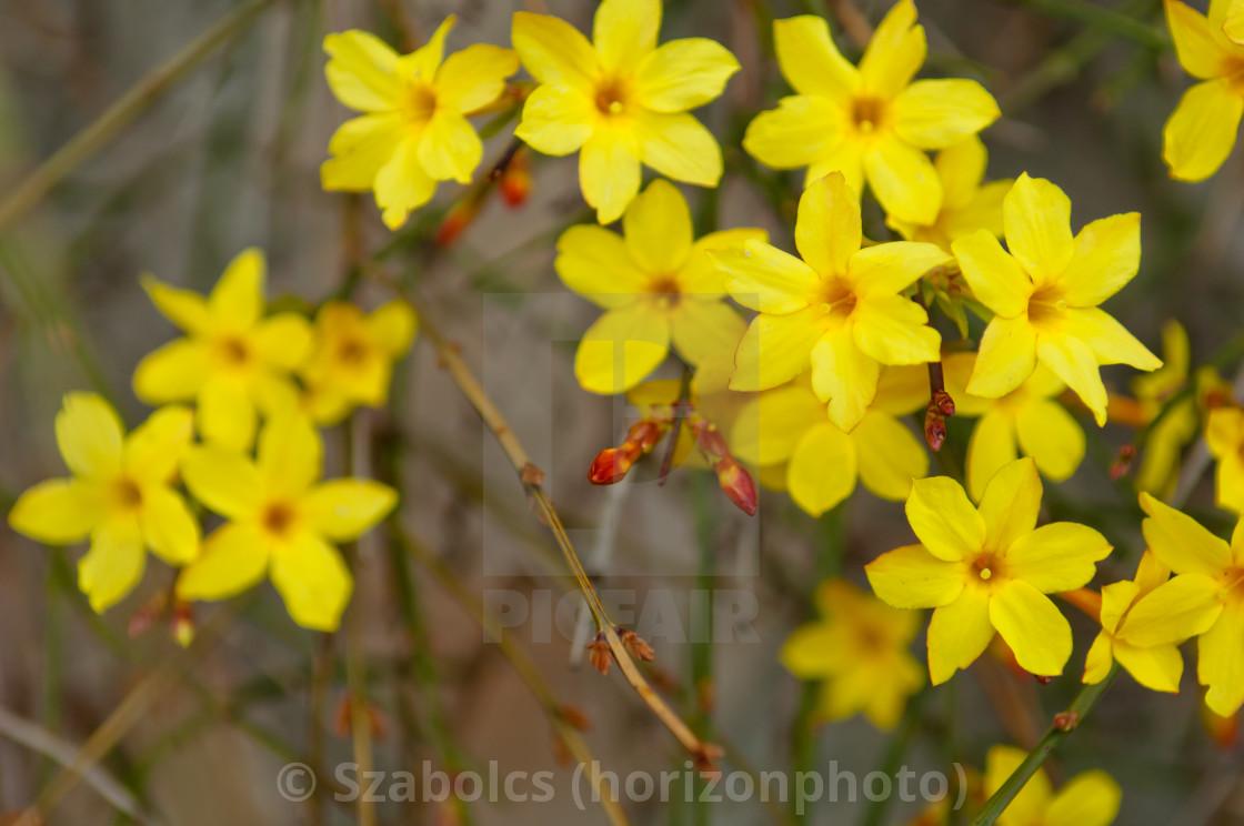 Winter Jasmine Jasminum Nudiflorum Yellow Flower License For 248