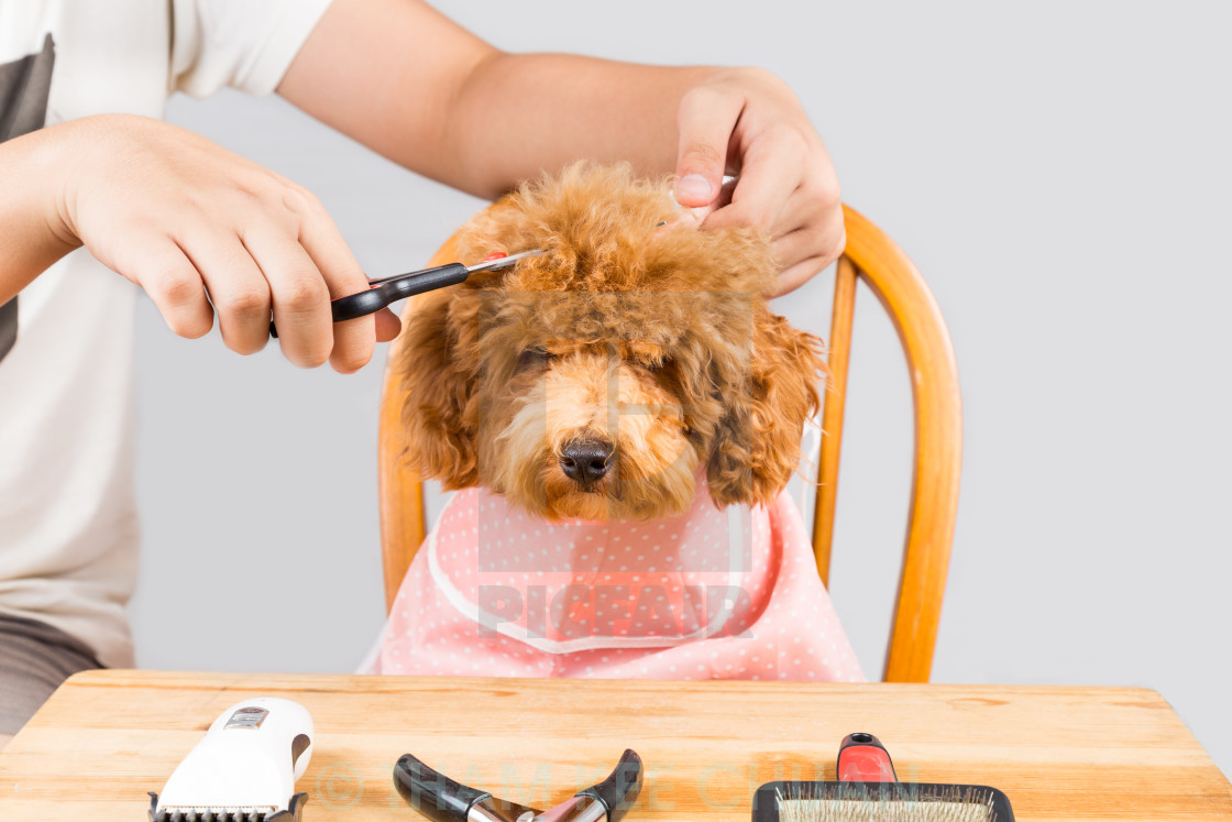 """""""Concept of poodle dog fur being cut and groomed in salon"""" stock image"""