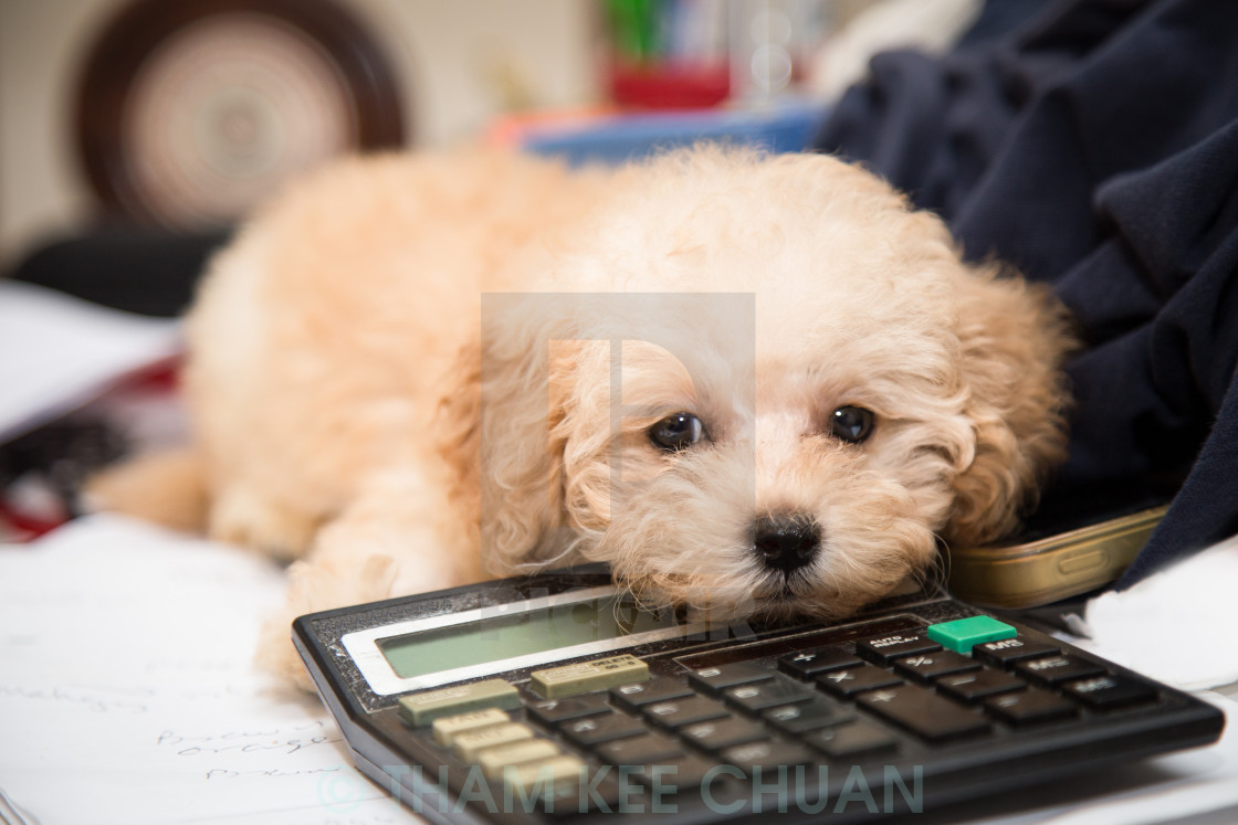 """""""Cute poodle puppy resting on a calculator placed on messy office"""" stock image"""