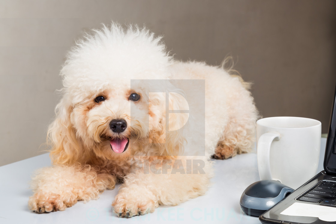 """""""Cute poodle puppy resting on office desk with laptop computer"""" stock image"""