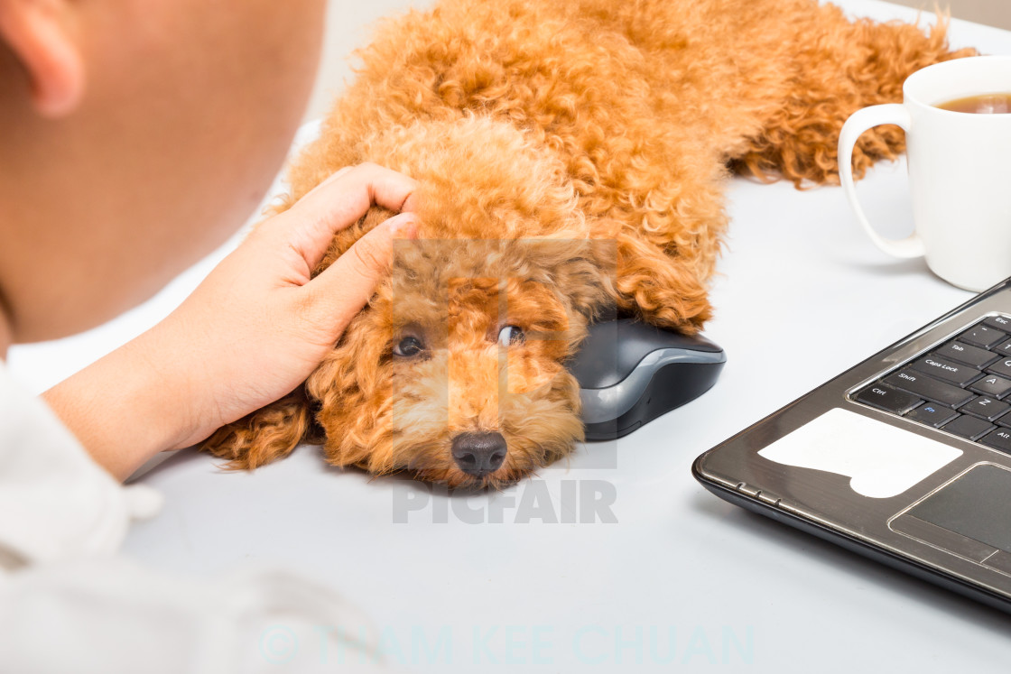 """Cute poodle puppy accompany person working with laptop computer on office desk"" stock image"