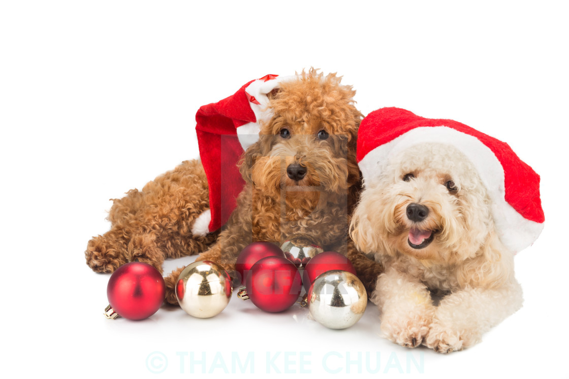 Cute Christmas Puppies.Two Cute Poodle Puppies In Santa Costume With Christmas