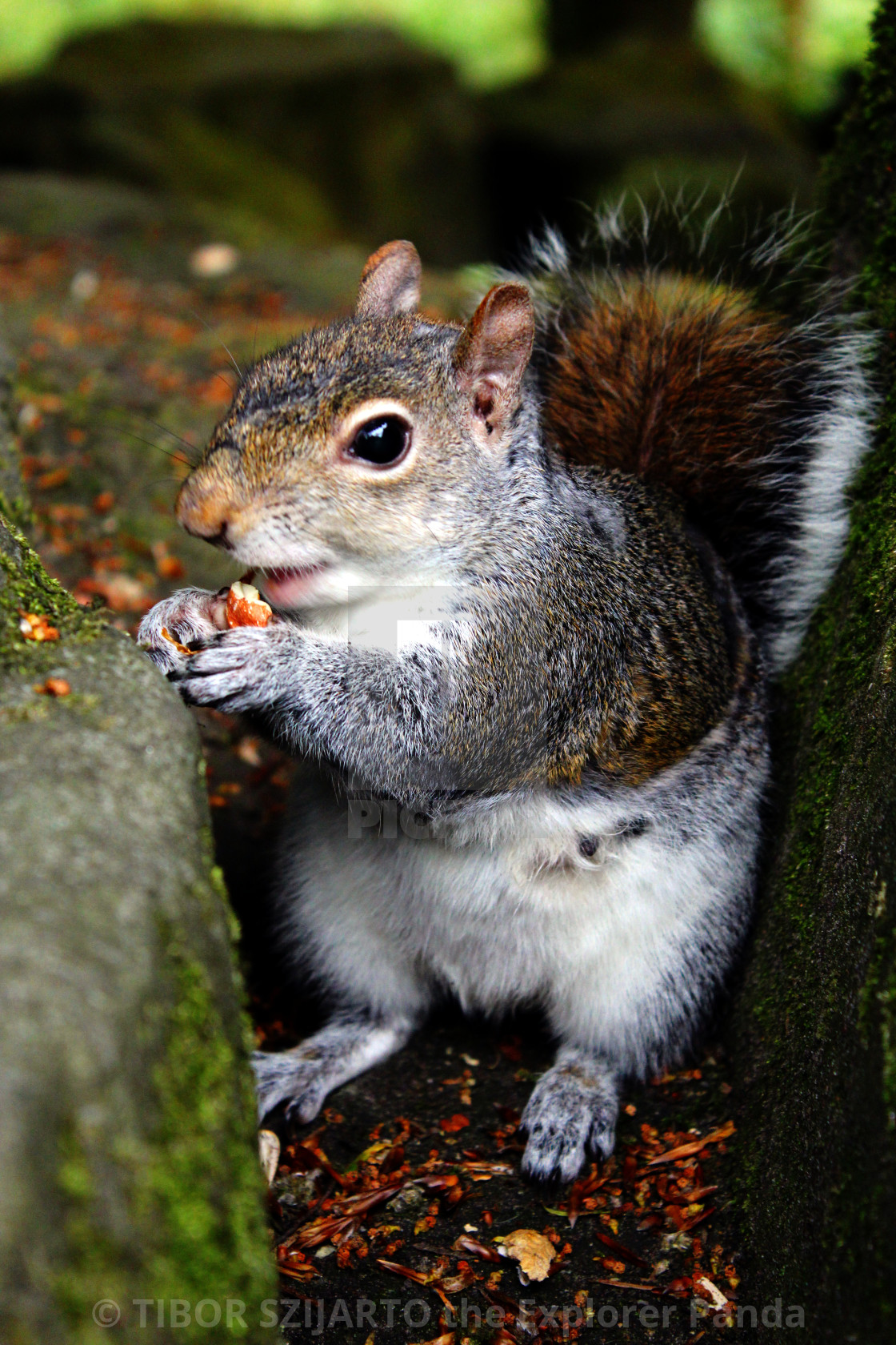 """""""Squirrel eating nuts #1"""" stock image"""