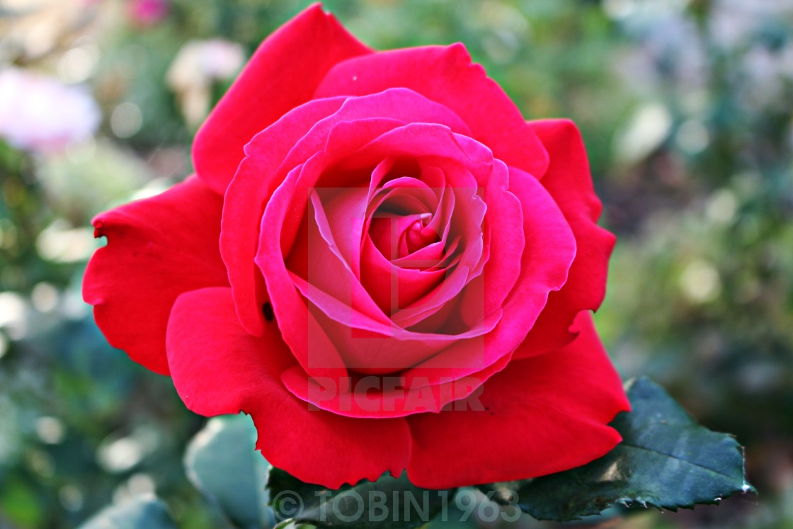 """THE ROSE"" stock image"