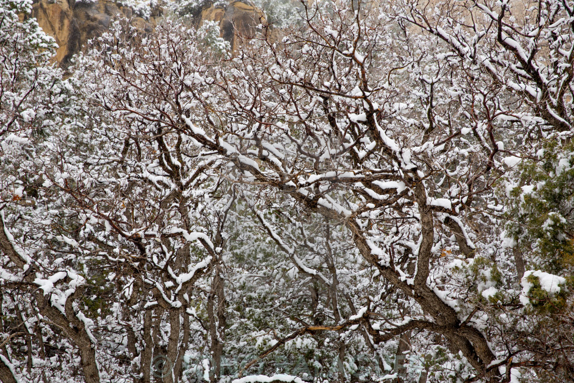 """""""Nevada USA spring snow in the trees"""" stock image"""