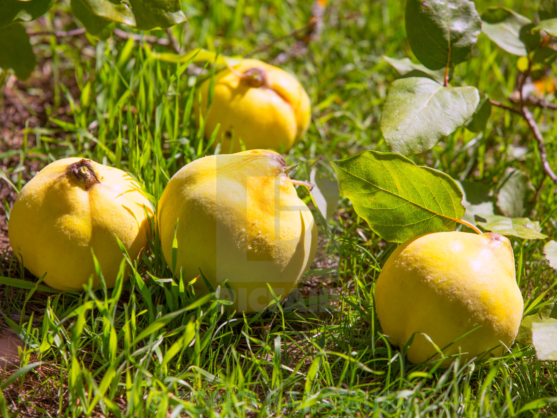 """""""quince fruit still image over green grass in nature"""" stock image"""