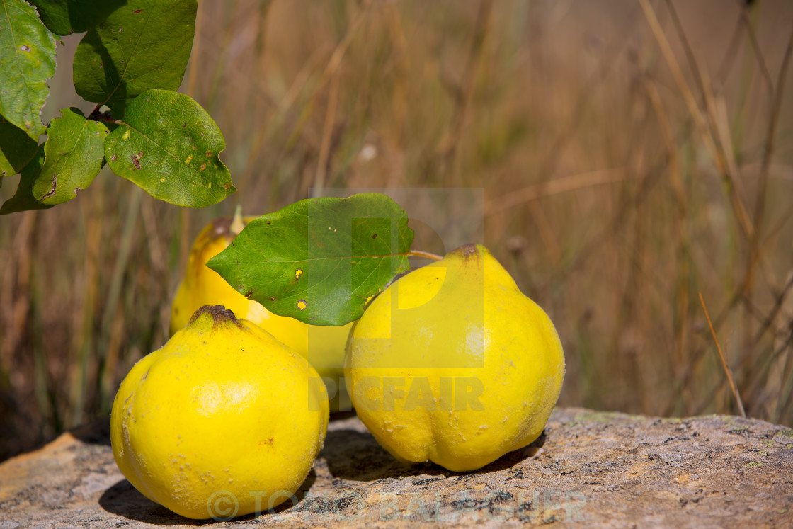 """quince fruit still image over stone in nature"" stock image"
