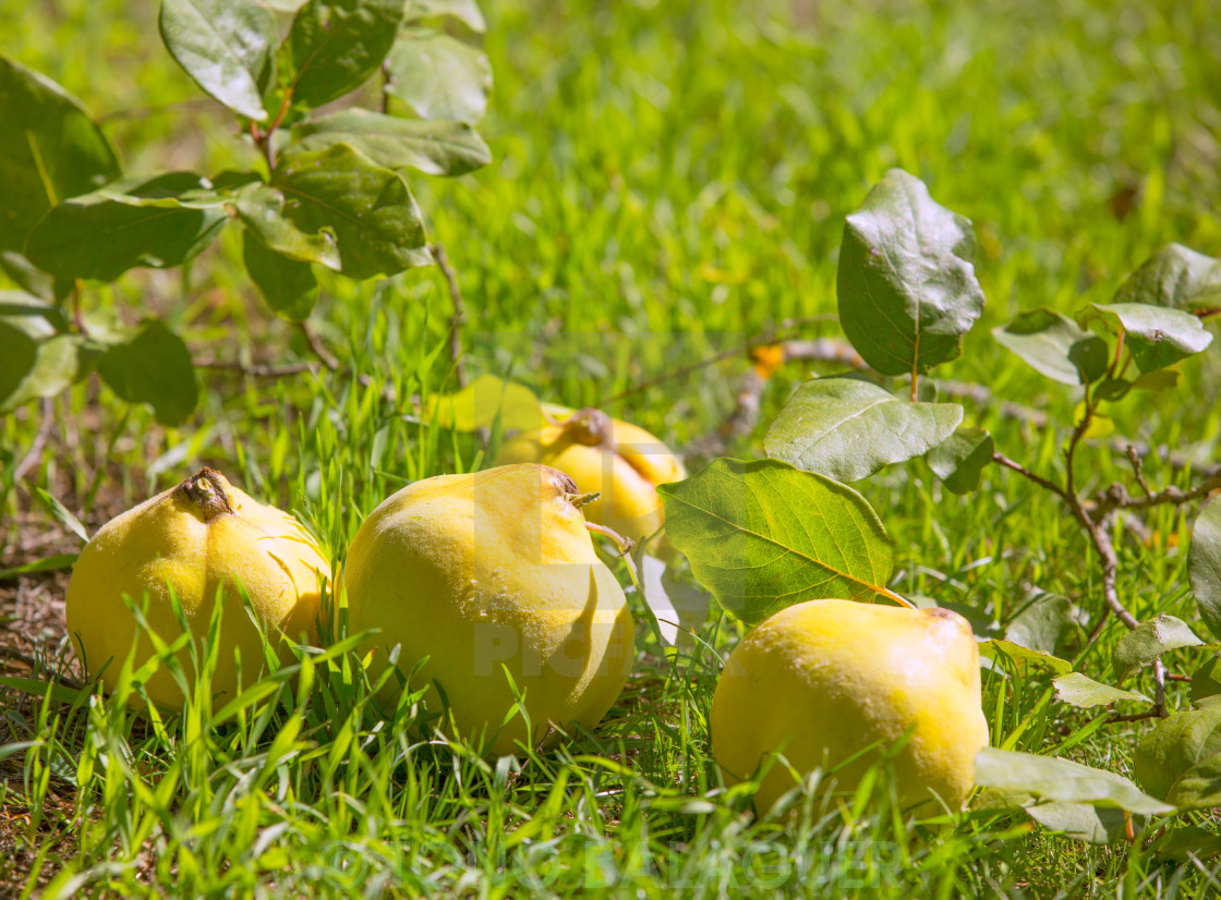 """quince fruit still image over green grass in nature"" stock image"