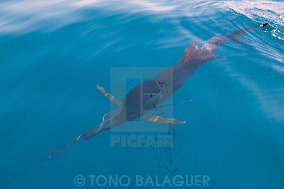 Sailfish sportfishing close to the boat with fishing line - License