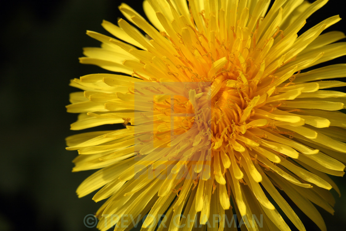 """DANDELION FLOWER HEAD"" stock image"