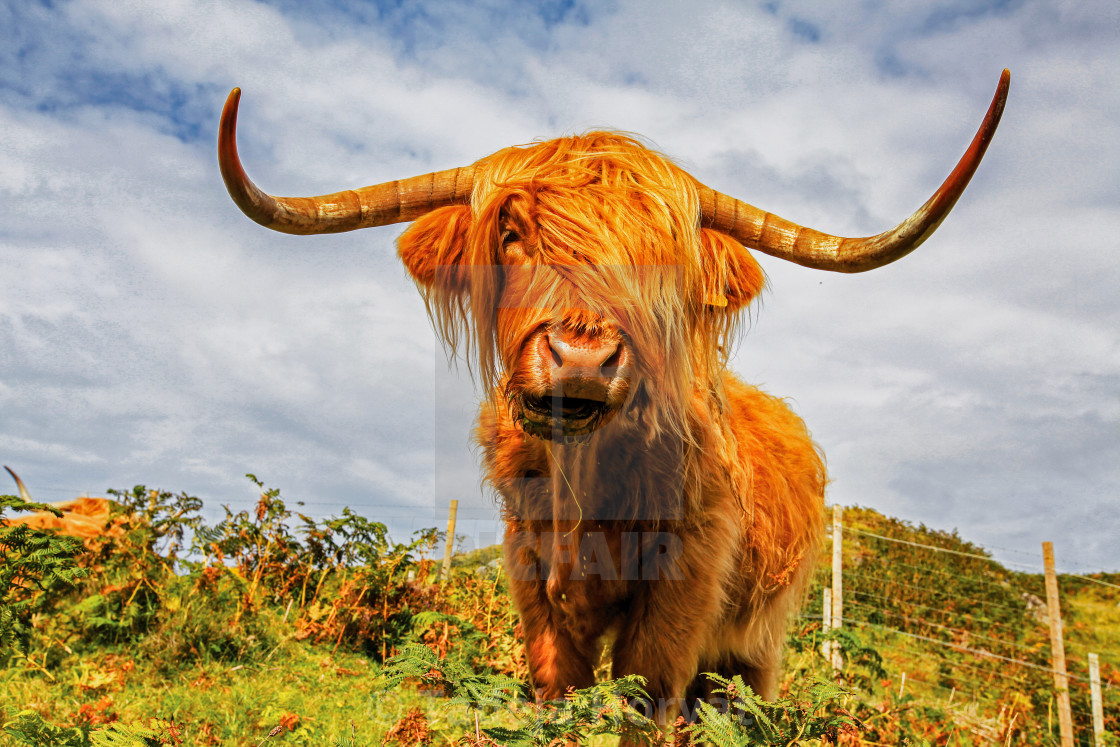 """Scottish Highland Cow"" stock image"
