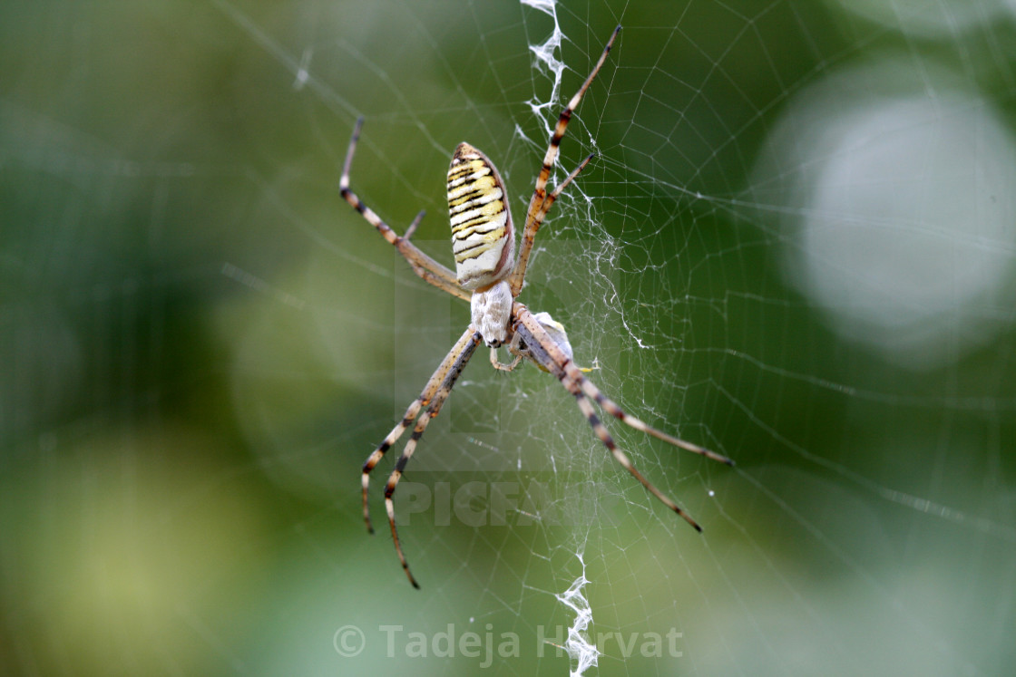 """Wasp Spider"" stock image"