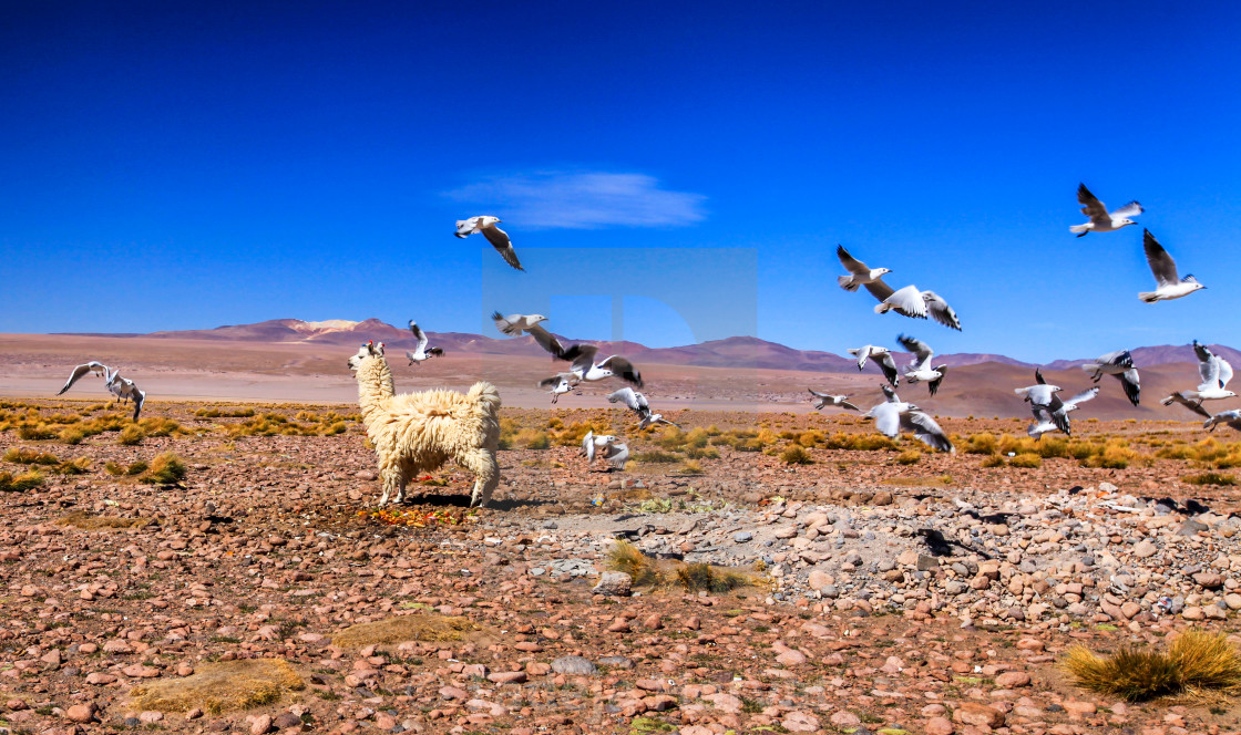 """Lama in the Altiplano"" stock image"